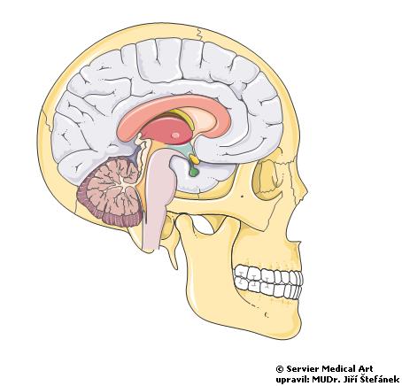 Mozek v dutine lebecni